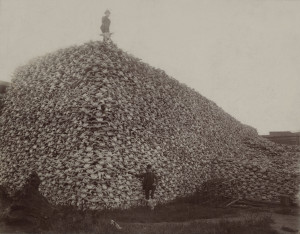 A Pile of American Bison Skulls in the 1870's