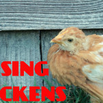 Chickens101 Part2a
