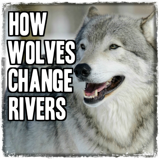 A Wolf's Role in the Ecosystem - The Trophic Cascade
