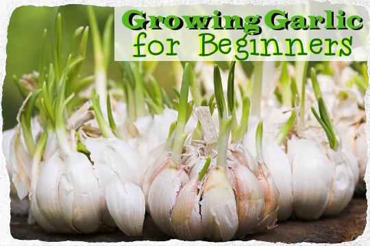 growing garlic for beginners tinhatranch. Black Bedroom Furniture Sets. Home Design Ideas